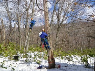 特殊伐採作業(ツリークライミング技術の応用)