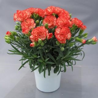 ロマンス® シリーズ オレンジ花系